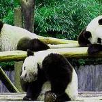 chengdu-pandas.jpg