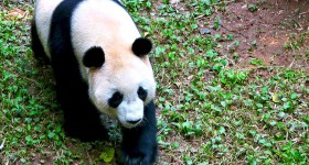 Panda-Guangzhou
